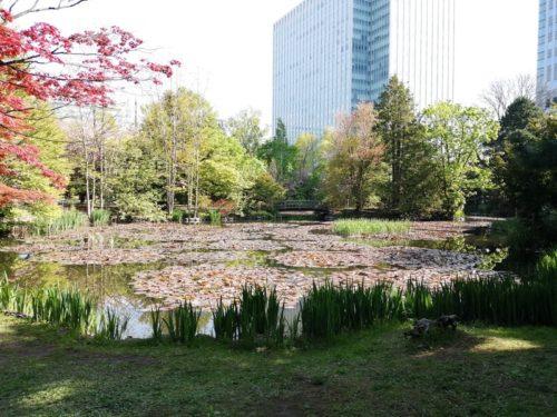 北門側の池に浮かぶヒツジグサ。