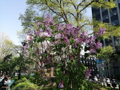 札幌のシンボルフラワーのライラック。